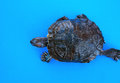 Water turtle running on blue background Royalty Free Stock Images