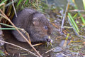 Water vole beside river bank Royalty Free Stock Photo