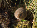 Water vole on rock by river Stock Images