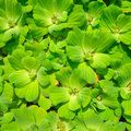Water weed Royalty Free Stock Photos