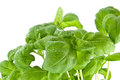 Water wetted basil leaves (with clipping path) Stock Photos