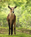 Waterbuck Stockfoto