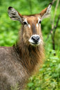 Waterbuck Stock Image