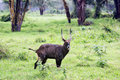 Waterbuck bull kobus ellipsiprymnus in maasai mara national park kenya africa Stock Photos