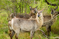 Waterbuck in the Bush in South Africa Royalty Free Stock Photography