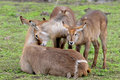Waterbuck family Stock Photography