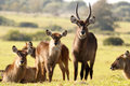 The waterbuck family kobus ellipsiprymnus is a large antelope found widely in sub saharan africa it is placed in Royalty Free Stock Images