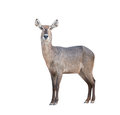 Waterbuck with green grass isolated on white background Stock Images