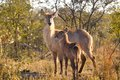 Waterbuck kobus ellipsiprymnus cow and calf in kruger national park south africa Royalty Free Stock Images