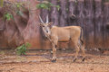 Waterbuck kobus ellipsiprymnus with curved horns on the ground Stock Photos