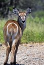 Waterbuck kobus ellipsiprymnus in kruger national park south africa Stock Image