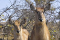Waterbuck kobus ellipsiprymnus in kruger national park south africa Stock Photo