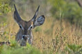 Waterbuck kobus ellipsiprymnus in kruger national park south africa Stock Photos