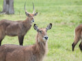 The waterbuck kobus ellipsiprymnus is a large antelope found widely in sub saharan africa it is placed in genus of Stock Image