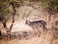 The waterbuck kobus ellipsiprymnus is a large antelope found widely in sub saharan africa it is placed in genus of Royalty Free Stock Photography