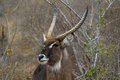 Waterbuck kobus ellipsiprymnus at waterhole in kruger national park south africa Stock Photo