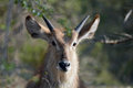 Waterbuck kobus ellipsiprymnus young male in kruger national park south africa Royalty Free Stock Photo