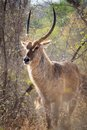 Waterbuck in kruger national park south africa Stock Image