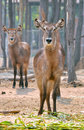 Waterbuck is a large antelope found widely in sub saharan africa Stock Photo