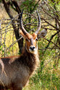 Waterbuck male in Kruger National park, South Africa. Royalty Free Stock Photo