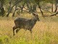 Waterbuck male in the serengeti kenya Stock Photography