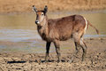 Waterbuck in mud kobus ellipsiprymnus with of a drying waterhole south africa Stock Image