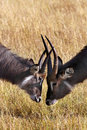 Waterbuck - Okavango Delta - Botswana Royalty Free Stock Photo