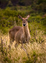 Waterbuck staring at viewer female Royalty Free Stock Photo