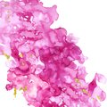 Artistic hand painted pink texture with splashes of gold paint on white background. Watercolor fuchsia banner