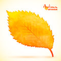 Watercolor autumn alder leaf Royalty Free Stock Photo