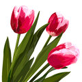 Watercolor beautiful tulips flowers.