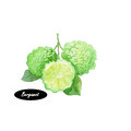 Watercolor Bergamot on white background