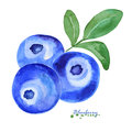 Watercolor Blue berry.