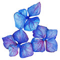 Watercolor blue violet hydrangea floral composition isolated vector Royalty Free Stock Photo
