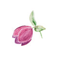 Watercolor botanical illustration of hellebore isolated on white background