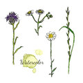 Watercolor botanical set with wild flowers. Camomile, thistle Royalty Free Stock Photo