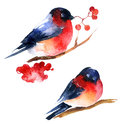 Watercolor bullfinch and ashberry