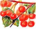 Watercolor cherries illustration painting design