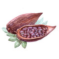 Watercolor cocoa beans isolated