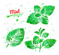 Watercolor collection of mint