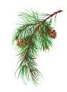 Watercolor coniferous branch pine cones.