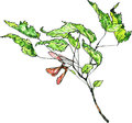 Watercolor drawing maple twig
