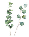 Watercolor eucalyptus round leaves and branches. Hand painted baby eucalyptus and silver dollar elements. Floral illustration isol