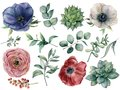 Watercolor eucalyptus, succulent and ranunculus floral set. Hand painted blue, red and white anemone, berry, eucalyptus