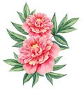 Watercolor flower peony pink green leaves decorative vintage illustration isolated on white background Royalty Free Stock Photo