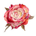 Watercolor flower rose red roses isolated on a white background illustration Stock Photography