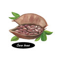 Watercolor fresh cocoa cacao beans on a bean pod dried and fully fermented fatty seed of theobroma from which solids Royalty Free Stock Photos