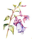 Watercolor with fuchsia on a white background Royalty Free Stock Image