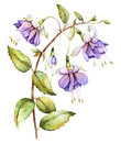 Watercolor with fuchsia on white background Stock Images