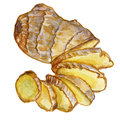 Watercolor ginger root. Hand draw ginger illustration. Spices object isolated on white background. Kitchen herbs and
